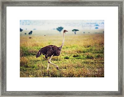 Ostrich On Savanna. Safari In Tanzania Framed Print by Michal Bednarek