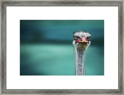Ostrich Protecting Two Poor Chicken From The Wind Framed Print by Piet Flour
