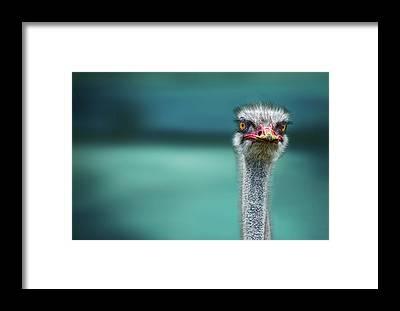 Ostrich Framed Prints