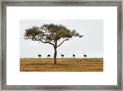 Ostrich Walk Framed Print by Joe Bonita