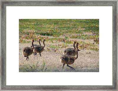 Ostrich Young Framed Print by David Van der Merwe