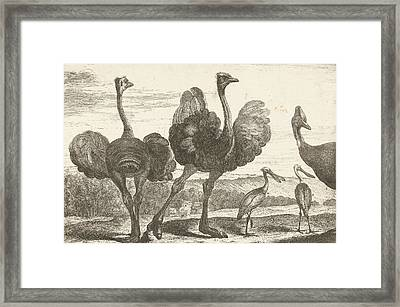 Ostriches, Cassowary And Spoonbill, De Poilly Framed Print by De Poilly