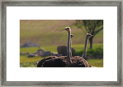Ostriches Framed Print by Dan Sproul