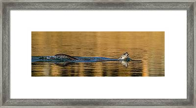 Framed Print featuring the photograph Otter Catch by Yeates Photography