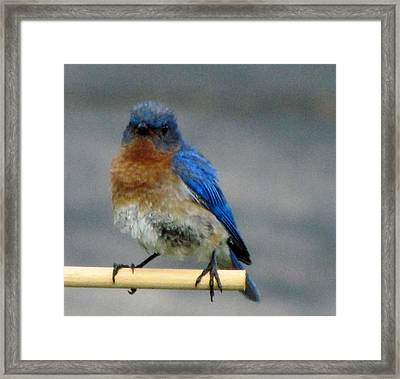 Our Own Mad Bluebird Framed Print