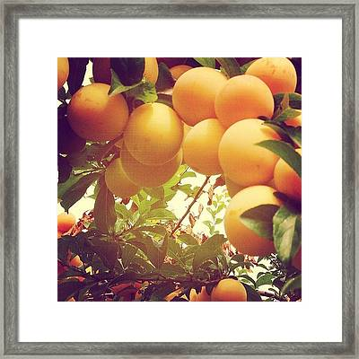 Our Plum Tree Is Loaded This Year...any Framed Print