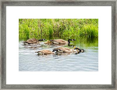 Out For A Swim Framed Print by Paul Freidlund