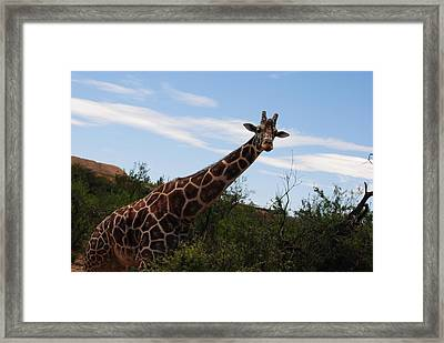 Out Of Africa 3 Framed Print by Paulina Roybal