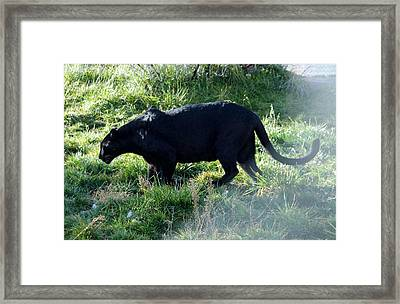 Out Of Africa  Black Panther Framed Print