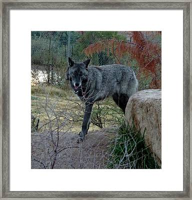 Out Of Africa Black Wolf Framed Print
