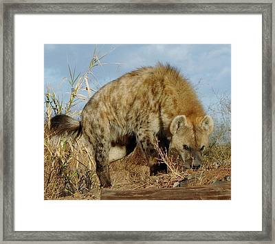 Out Of Africa Hyena 1 Framed Print