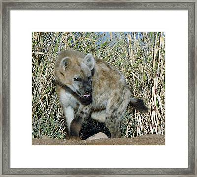 Out Of Africa  Hyena 2 Framed Print