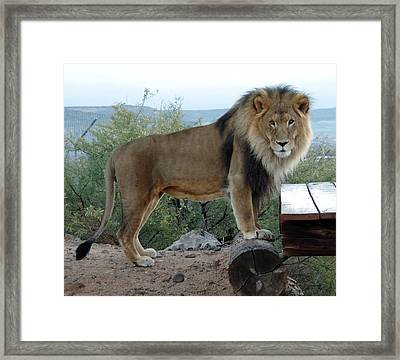 Out Of Africa  Lion 1 Framed Print