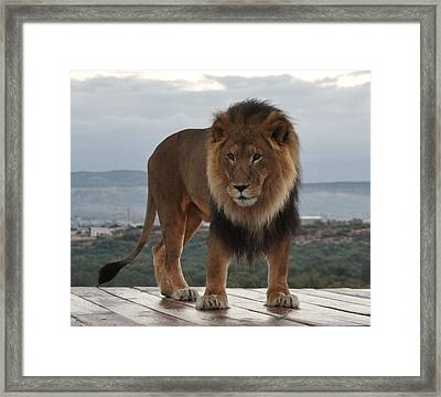 Out Of Africa Lion 3 Framed Print