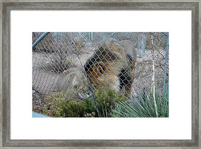 Out Of Africa Lions 4 Framed Print