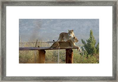 Out Of Africa Lions Framed Print