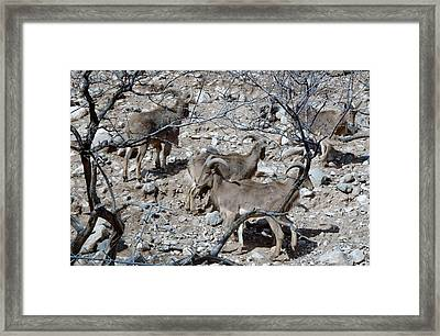 Out Of Africa  Mountain Goats Framed Print