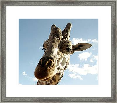 Out Of Africa  Reticulated Giraffe Framed Print