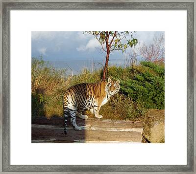 Out Of Africa  Tiger 1 Framed Print
