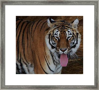 Out Of Africa  Tiger 2 Framed Print