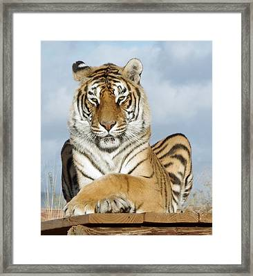 Out Of Africa Tiger 3 Framed Print
