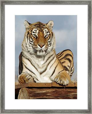 Out Of Africa Tiger 4 Framed Print