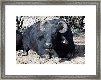 Out Of Africa  Water Buffalo Framed Print