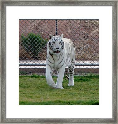 Out Of Africa White Tiger Framed Print