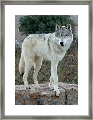 Out Of Africa Wolf  Framed Print