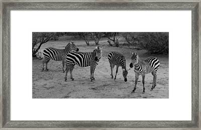 Out Of Africa  Zebras Framed Print