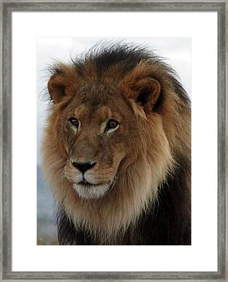 Out Ofafrica  Lion 4 Framed Print