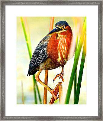 Out On A Reed Framed Print by AnnaJo Vahle