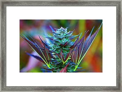 Outdoor Cannabis Farming, Close Framed Print by Stock Pot Images