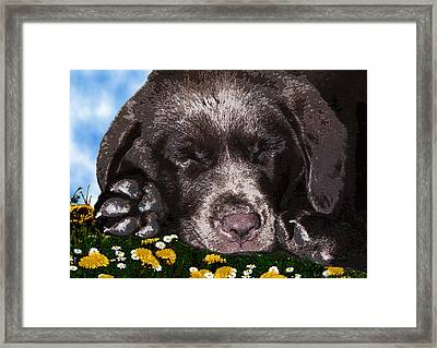 Outside Portrait Of A Chocolate Lab Puppy  Framed Print by Chris Goulette