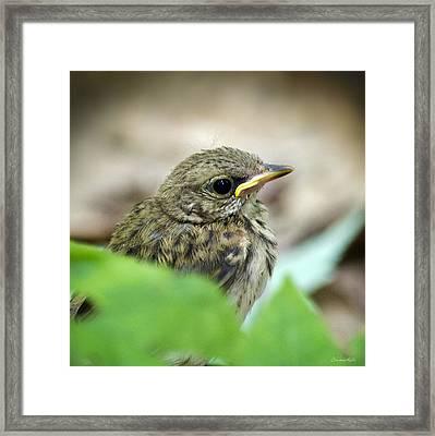 Ovenbird Chick Framed Print by Christina Rollo
