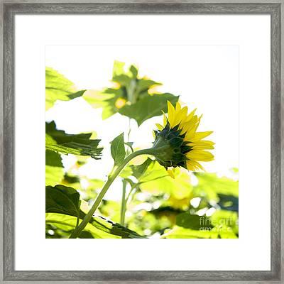 Overexposed Sunflower Framed Print by Bernard Jaubert