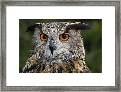 Owl Bubo Bubo Portrait Framed Print by Matthias Hauser