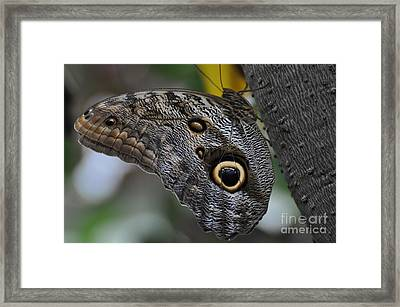Framed Print featuring the photograph Owl Butterfly by Bianca Nadeau