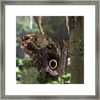 Owl-eye Butterfly (caligo Framed Print by William Sutton