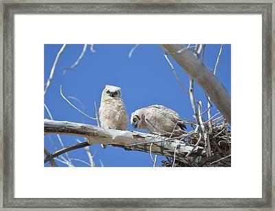 Owlets In White Framed Print