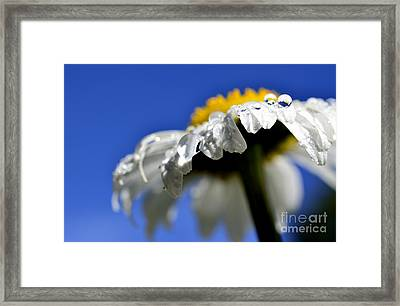 Ox-eye Daisy Raindrops Framed Print by Thomas R Fletcher