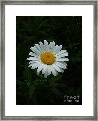 Ox-eyed Daisy Framed Print