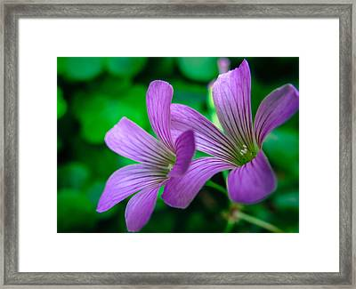 Oxalis II Framed Print by Stacy Michelle Smith