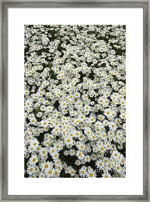 Oxeye Daises Framed Print