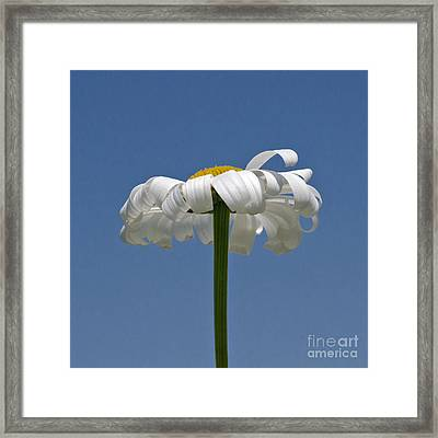 Oxeye Daisy Framed Print by Dee Cresswell