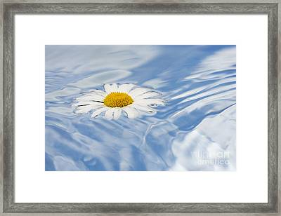 Oxeye Daisy Floating On Water Framed Print