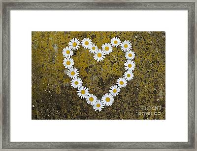 Oxeye Daisy Heart Framed Print by Tim Gainey