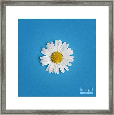 Oxeye Daisy Square Blue Framed Print by Tim Gainey