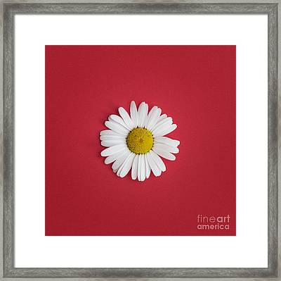 Oxeye Daisy Square Red Framed Print