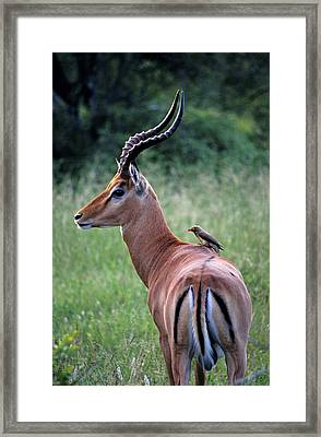 Framed Print featuring the photograph Oxpecker And Impala by Dennis Cox WorldViews